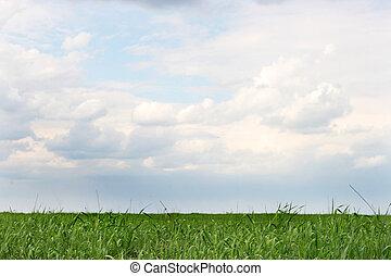 ciel nuageux, wheaten, champ vert