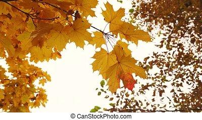 ciel, sous, érable, mouvementde va-et-vient, automne, branche, jaune, vent, feuilles