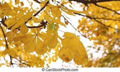 ciel, sous, automne, mouvementde va-et-vient, branche, jaune, vent, feuilles, châtaigne