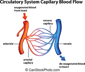 circulatoire, capilary, -, couler, système, sanguine