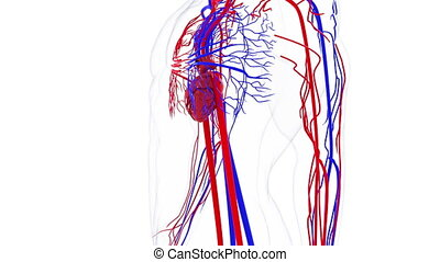circulatoire, informatique, system., humain, modèle, sanguine, monde médical, tourner, fond, rendre, vessels., 3d, generated.