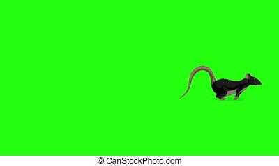 clã©, animation, rat, courses, chroma, noir