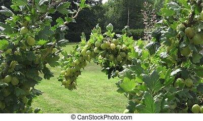 closeup, branche, baies, groseilles maquereau, croissant, garden., frais, groseille, bush., mûre, vert, organique