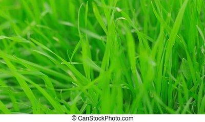 closeup, herbe, battement des gouvernes, vert, vent