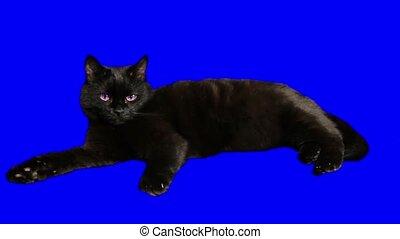 closeup, iso, beau, chat noir