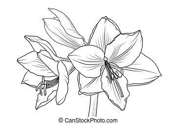 closeup, macro, lilly, vue, amaryllis, hippeastrum