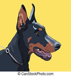 closeup, sérieux, race, vecteur, chien, pinscher, doberman