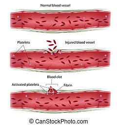 clotting, processus, sanguine, eps8