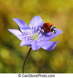 coccinelle, fleur unique, printemps, violet
