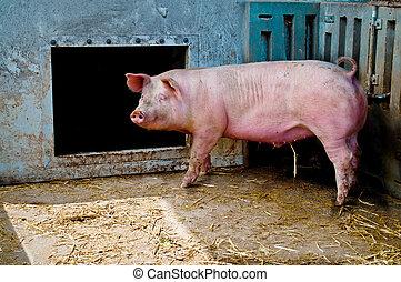 cochon, écurie