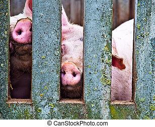cochons, par, barrière