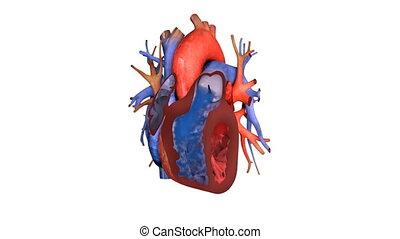 coeur, haut, animation, sanguine, action, fin