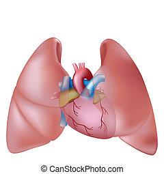 coeur, humain, poumons