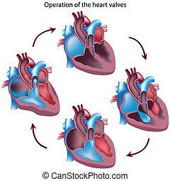 coeur, opération, valves