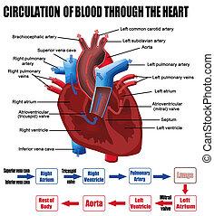 coeur, par, sanguine, circulation