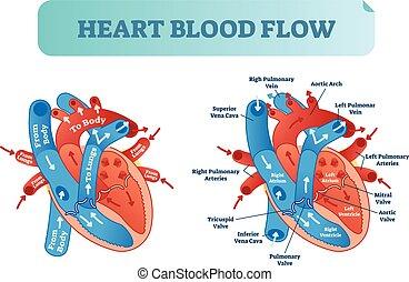 coeur, poster., circulation, system., monde médical, couler, illustration, diagramme anatomique, étiqueté, vecteur, sanguine, oreillette, ventricule