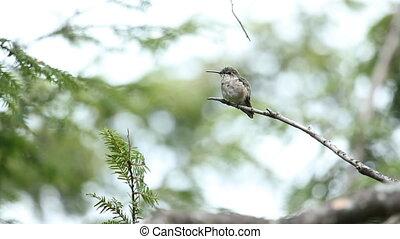 colibri, wild.