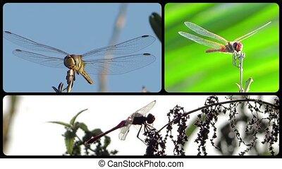 collage, libellules