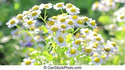 collection, fleurir, blanc, grass., vaciller, pâquerettes, vert, médicinal, plants., jardin, vent