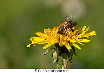 collects, fleur, nectar, abeille, pissenlit