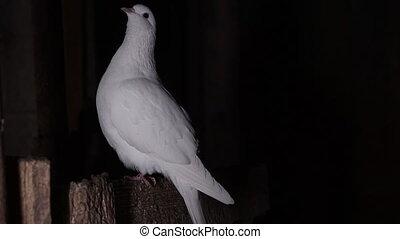 colombe, sombre, assied, blanc, perche, salle