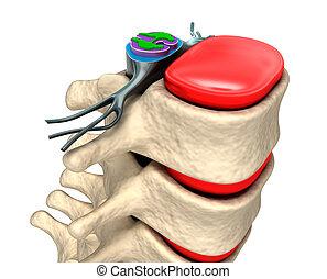 colonne, spinal, disques, nerfs