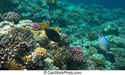coloré, coraux, poissons, beau, sous-marin, exotique
