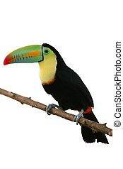 coloré, toucan, fond, oiseau, blanc