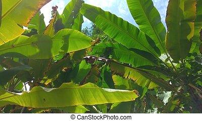 color., vert, brouillé, feuille, fond, banane, leaves., texture, image