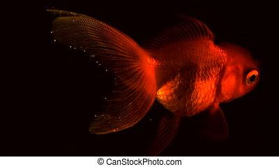 column., fishbowl., métrage, flotteur, isolé, haut, eau, arrière-plan., unique, noir, adulte, poisson rouge, fin, flotter, nageoires, fish, vue