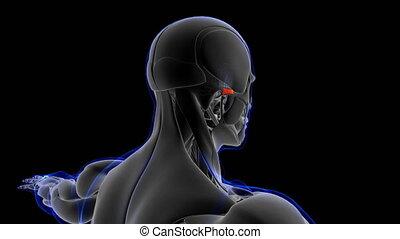concept, illustration, antérieur, monde médical, looapable, auriculaire, anatomie, muscle, 3d