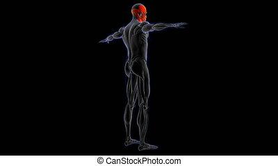 concept, loopable, illustration médicale, anatomie, muscle, tête, 3d
