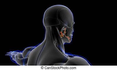 concept, loopable, illustration médicale, digastric, anatomie, muscle, 3d