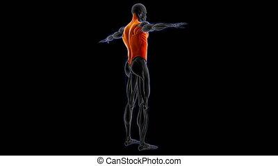 concept, loopable, illustration, torse, monde médical, anatomie, muscle, 3d