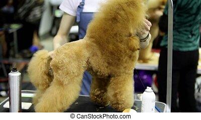 concours, race, chien, caniche, cheveux, coupures, groomer, prise, sien