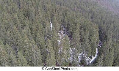 conifère, prise vue aérienne, forêt