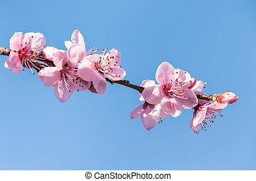 contre, ciel bleu, pêche, isolé, fleur, arrière-plan rose, arbre, copie, fleurs, espace