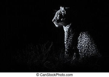 conversion, obscurité, chasse, séance, léopard, proie, artistique