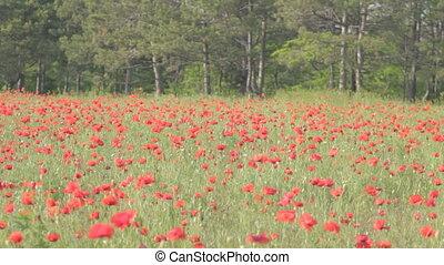 coquelicots, mouvementde va-et-vient, fleurir, th, rouges