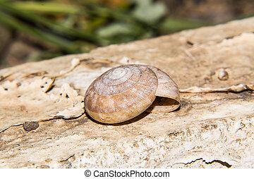 coquille, escargot