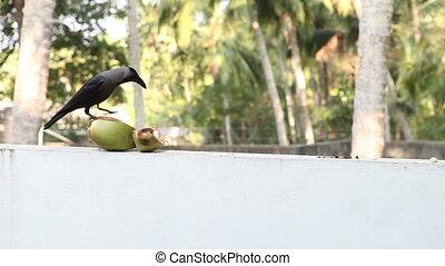 corneille, noix coco, asseoir