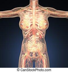 corps, anatomie, humain, os, organes, transparent