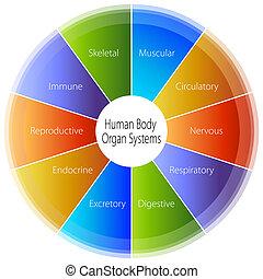 corps, humain, diagramme, orgue, systèmes