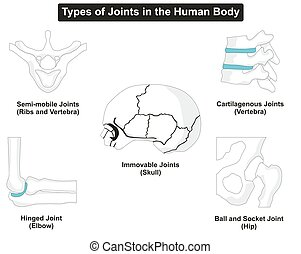 corps, joints, types, humain
