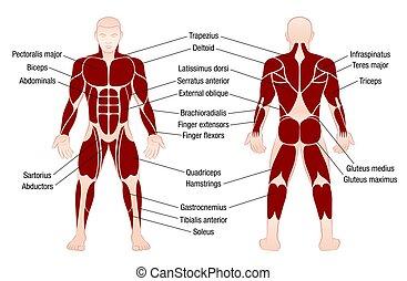 corps, muscles, description, diagramme, musculaire, homme