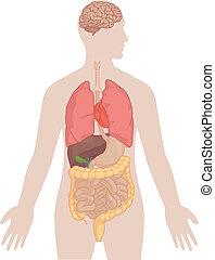 corps, poumons, -, anatomie, cerveau humain
