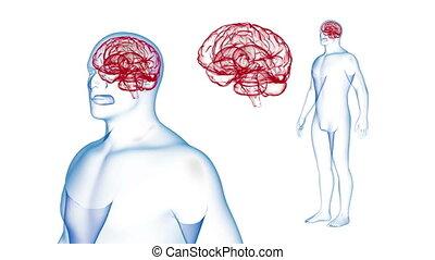 corps, render, cerveau, effets, rotation., boucle, humain, rayon x, 3d