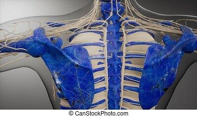 corps, transparent, visible, humain, os