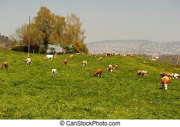 coteau, vaches, pâturage, pâturage