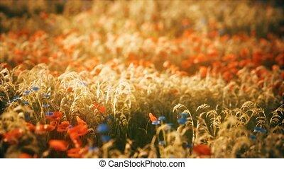 coucher soleil, sauvage, champ, fleur